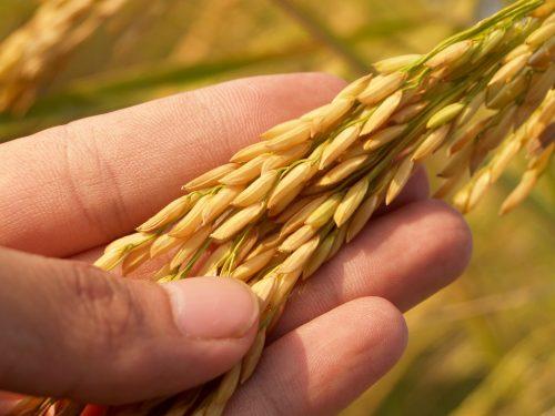 Mature Harvest Golden Rice