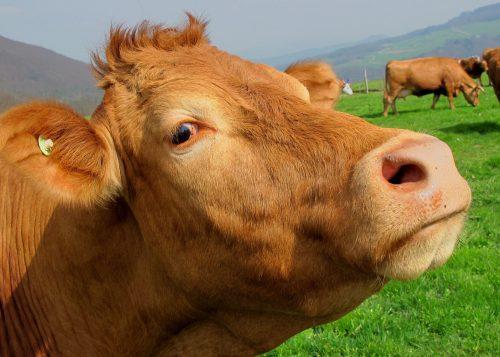 Brown Cow Mammal Animal 63246